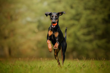 Dobermann Dog Running With A Ball On The Grass