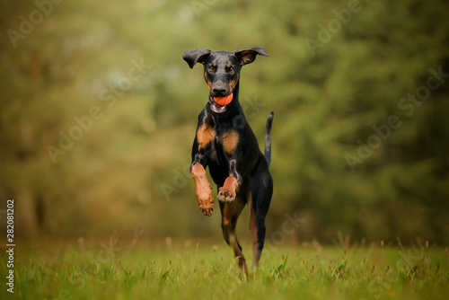 Leinwand Poster Dobermann dog running with a ball on the grass