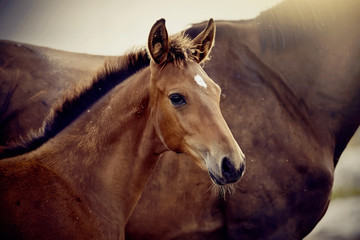 Portrait of a red foal sporting breed