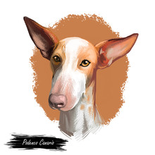 Podenco Canario Dog Portrait Isolated On White. Digital Art Illustration Of Hand Drawn For Web, T-shirt Print And Puppy Food Cover Design, Clipart. Canary Islands Warren Hound, Canarian Warren Hound.
