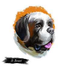 St Bernard Breed Of Large Working Dog From Western Alps Isolated On White. Digital Art. Animal Watercolor Portrait Closeup Isolated Muzzle Of Pet, Canine Hand Drawn Clipart, Animalistic Drawing.