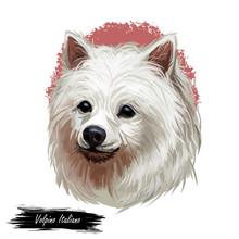 Volpino Italiano Dog Spitz Typ...
