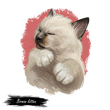 Birman Or Sacred Cat Of Burma Isolated On White Background. Digital Art Illustration Of Hand Drawn Kitty For Web. Long Haired And Color Pointed Kitten With Silky White Coat And Deep Blue Eyes.