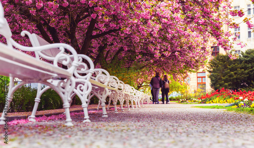 Wall Murals Equestrian Empty park with blossom sakura and benches