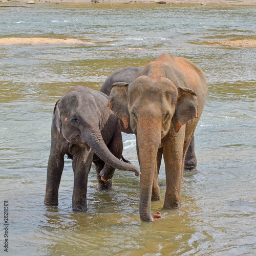 Young elephant and its mother bathing in a river, Sri Lanka Canvas Print