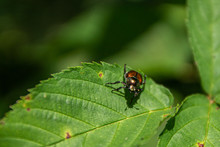 Dogbane Beetle Resting On A Leaf