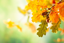 Autumn Yellow Leaves  Of Oak T...