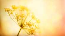 Autumn Flower Background. Silhouettes Of Inflorescences Of  Umbelliferous Plant  Against  Sunset Background. Autumn Nature.