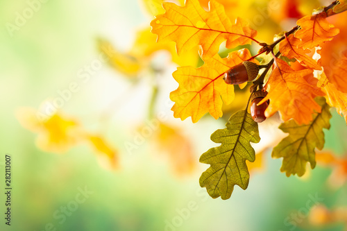 Fotomural Autumn yellow leaves  of oak tree in autumn park