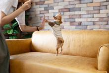 Cute Chihuahua In T-shirt Stan...