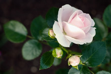 Delicate Blooming Pink Rose An...