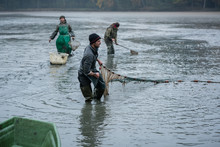 Karpfenfischer Ernten Den Karpfen Und Holen Das Fischnetz Ein