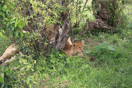 Printed kitchen splashbacks Squirrel lion cub in Masai Mara Kenya