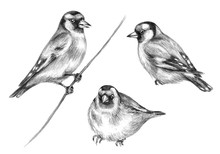 Hand Drawn Sitting Goldfinch  Birds