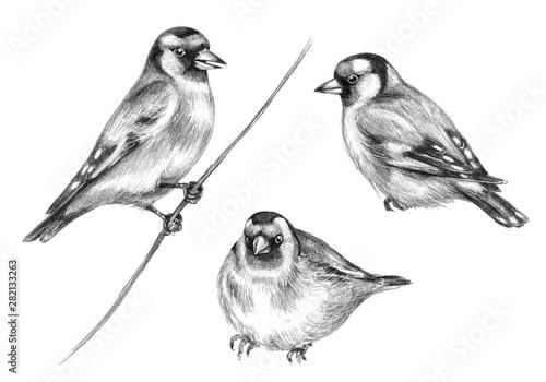 Tableau sur Toile Hand Drawn Sitting Goldfinch  Birds