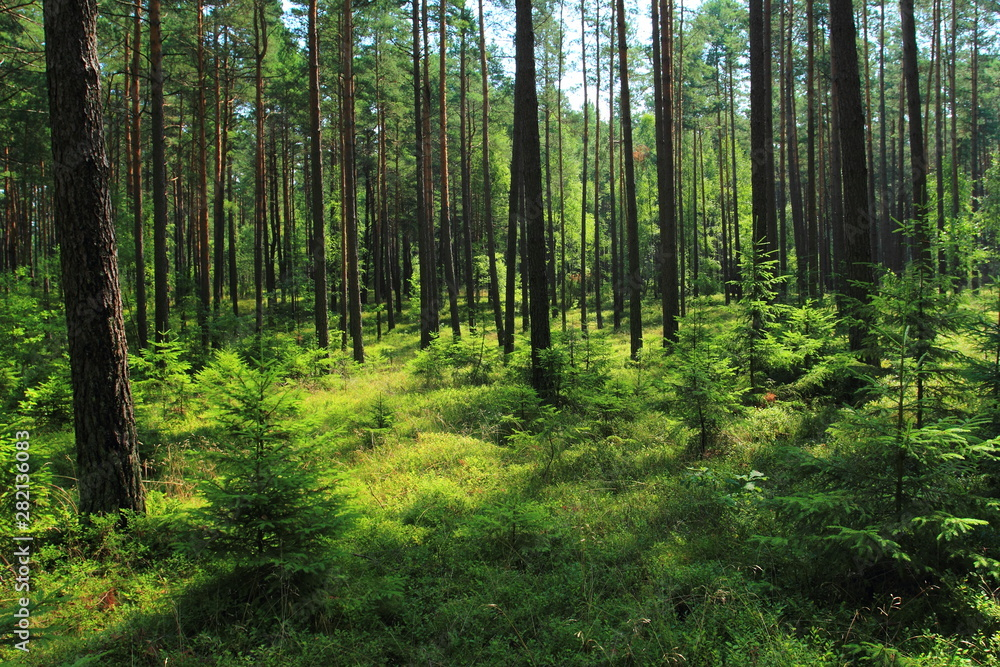 Fototapety, obrazy: Beautiful view in summer pine forest in Poland