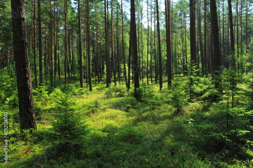 Beautiful view in summer pine forest in Poland