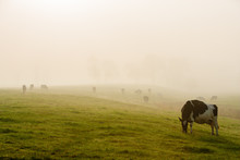 Cows In Early Morning Fog, Stowe, Vermont, USA