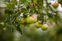Garden Green Apples Covered With Raindrops On A Branch.