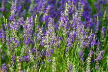 Lavandula Or Lavender Respectively, Background Of Flowering Plants.