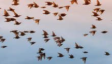 Beautiful Numerous Flock Of St...