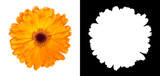 Fototapeta Kwiaty - Orange gerbera flower isolated on white background with alpha channel and clipping path