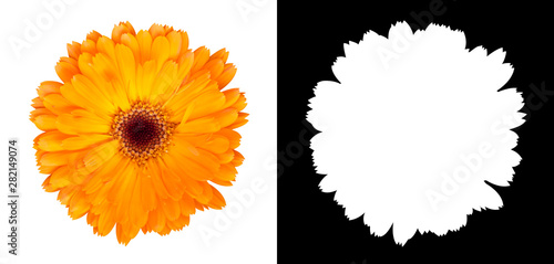 Orange gerbera flower isolated on white background with alpha channel and clipping path
