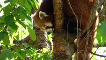 SLOW MOTION CLOSE UP Cute Red Panda Sleeping On A Tree Branch And Yawning