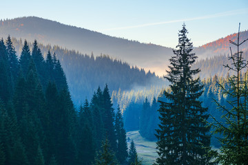 Obraz na Szkle Las spruce forest on the hill in the morning. glowing fog in the distant valley. beautiful autumn nature scenery at sunrise