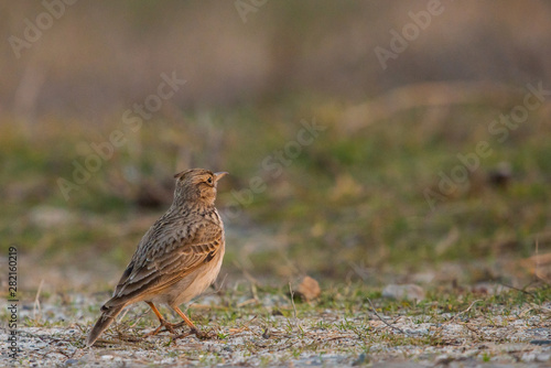 Crested lark or Galerida cristata standing on a ground Canvas-taulu