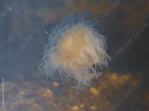 Fototapeta Meduza u wybrzeży norwegii obraz