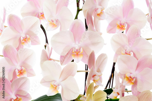 Beautiful orchid flower on white background 胡蝶蘭