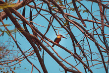 A Kingfisher Bird Sitting On A Tree Branch.