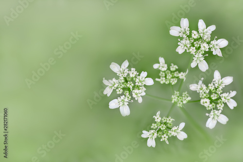 Foto auf Leinwand Olivgrun Meadow small white flowers on foggy blurred light green background, soft focus, delicate macro floral landscape in pastel tones, free copy space