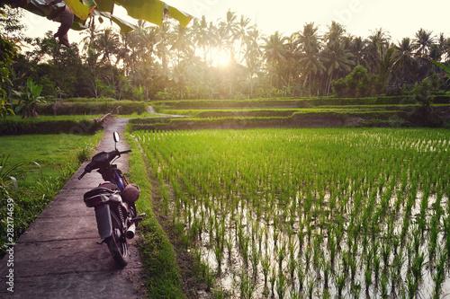 Fotobehang Rijstvelden Green rice terraces and palm trees during sunset, Bali