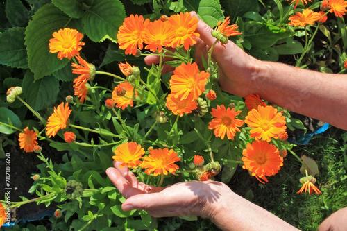 Obraz The elderly woman - farmer picks and care of  orange daisies calendula   garden flowers on summer  bush - fototapety do salonu