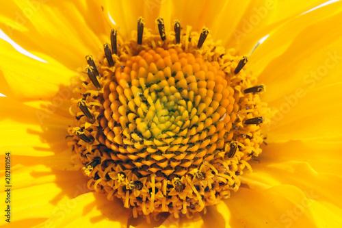 In de dag Zonnebloem Inside of yellow sunflower garden flower summer super macro