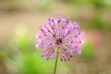 Flower Ball With Pink Stamens, Blurred Background