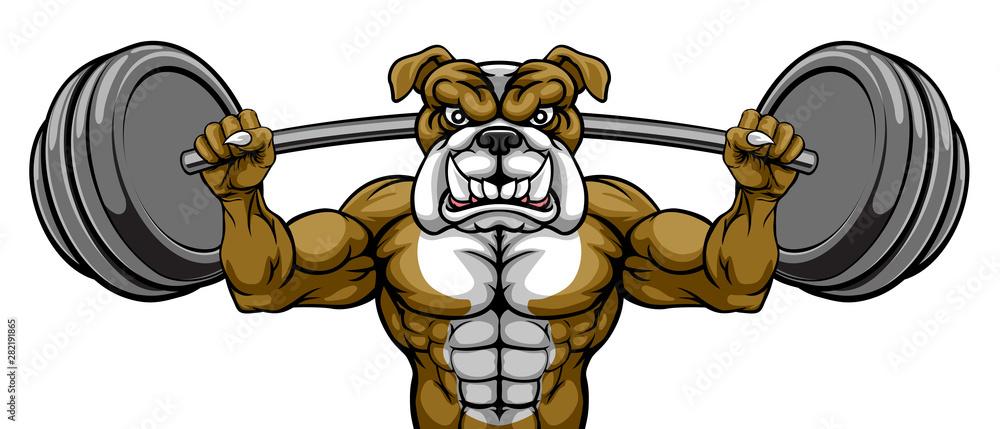 Fototapeta A bulldog dog animal body builder sports mascot weight lifting a barbell