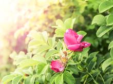 Beautiful Rose On Morning Sun ...