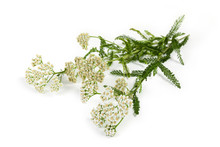 Yarrow Flowers On Branches Clo...