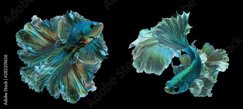 Photo Two Dark green betta fish Fancy Halfmoon Betta The moving moment beautiful of Siamese Fighting fish in Thailand