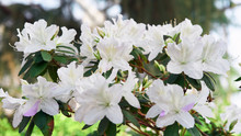 Flowers Bloom Azaleas, White R...