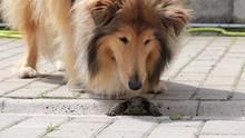 A Cute Rough Collie Dog Sniffi...
