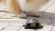Close Up Of Rough Collie Sniffing Over A Slowly Escaping Pond Turtle, Funny