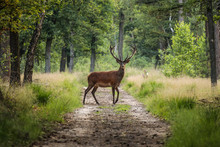 Red Deer Crossing A Sand Path ...