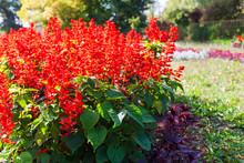 Elegant Autumn Flower Bed With Salvia Splendens, Red Decorative Garden Flowers. Blooming Plants In The Park Area.