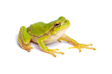 Green Tree Frog Isolated On Wh...