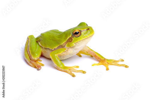 Green tree frog isolated on white Tableau sur Toile