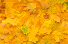 Autumn Background With Fallen Yellow Maple Leaves On Ground
